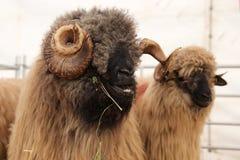 овцы 2 Стоковые Фото