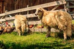 овцы 2 Стоковая Фотография RF