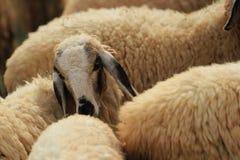 Овцы Стоковое Изображение RF