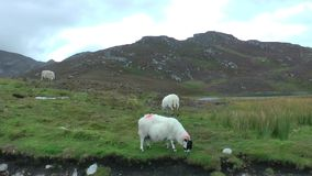 Овцы сток-видео