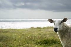 овцы Стоковое Фото