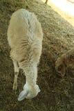 Овцы arThe зоны 4-шагающие животные, жевание жвачки и млекопитающие Большинств овцы использовали для того чтобы быть дики стоковое фото rf