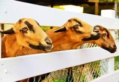 Овцы Barbado Blackbelly фокусируя внимание Стоковое фото RF