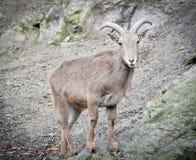 Овцы Barbary на зоопарке Праги Овцы Barbary в естественной предпосылке Стоковые Фото