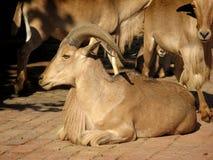 овцы barbary стоковое изображение