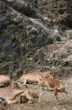 овцы barbary Стоковые Изображения RF