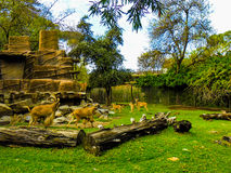 Овцы Barnaby наслаждаются естественными окрестностями в зоопарке Аделаиды Стоковые Изображения RF