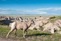 овцы bighorn забвенные к прогулкам туристов Стоковые Изображения