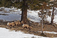 Овцы Bighorn утесистой горы Стоковая Фотография