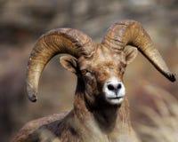 овцы bighorn Стоковая Фотография