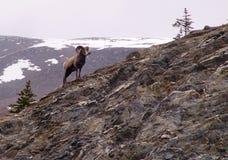 Овцы Bighorn стоковые изображения rf