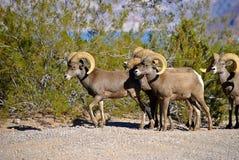 Овцы Bighorn Стоковое Изображение RF
