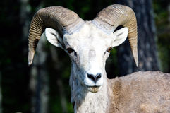 овцы bighorn Стоковое Фото
