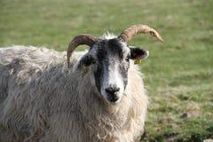 Овцы Blackface смотря камеру Стоковая Фотография RF