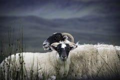 2 овцы blackface Стоковая Фотография