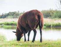 Овцы Brown пася na górze dike Стоковое фото RF