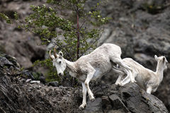 Овцы Dall Аляска Стоковые Изображения RF