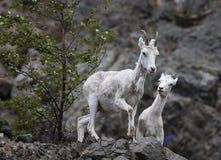 Овцы Dall Аляска стоковое изображение
