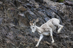 Овцы Dall Аляска Стоковое Фото