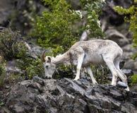 Овцы Dall Аляска Стоковая Фотография RF