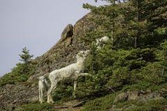 Овцы Dall лета Стоковое Изображение RF