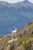 Овцы Dall лета Стоковое Изображение