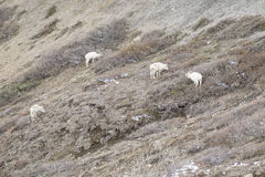 Овцы Dall пася #2 Стоковые Изображения