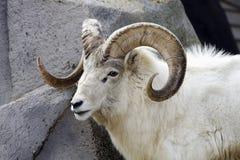 овцы dall Стоковые Изображения RF
