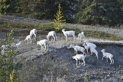 Овцы Dall Стоковые Изображения