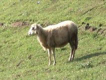 Овцы gazing, идя и отдыхая на зеленом выгоне Ферма Сербии органическая акции видеоматериалы