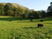 Овцы Herdwick пася последний вечер Стоковая Фотография RF