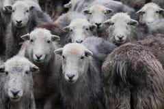 Овцы Herdwick Стоковая Фотография