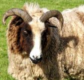 Овцы Jacobs стоковое изображение rf