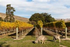 Овцы Merino пася в винограднике Стоковое Изображение RF