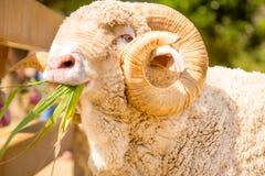 Овцы Merino Стоковые Изображения RF