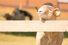 Овцы Merino Стоковые Фотографии RF
