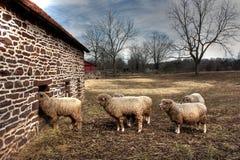 Овцы Merino Стоковая Фотография