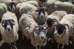 Овцы Swaledale - участки земли Йоркшира - Англия Стоковые Изображения RF