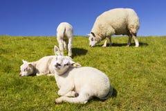 Овцы Texel на острове Texel, Нидерландах стоковые изображения