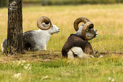 Овцы Thinhorn & x28; Dalli& x29 барана; в Юконе Стоковое фото RF