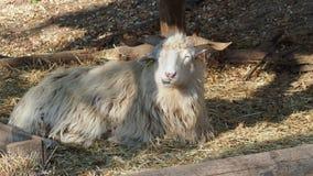 Овцы Wallachian сток-видео