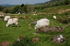 Овцы Welsh Стоковое Фото
