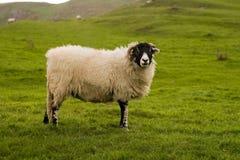 овцы yorkshire участков земли Стоковая Фотография
