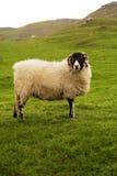 овцы yorkshire участков земли Стоковое Изображение RF