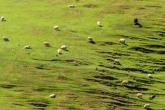 овцы zealand холма новые Стоковые Изображения