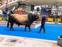ОВЬЕДО, ИСПАНИЯ - 12-ое мая 2018: Stockbreeder представляет быка на Стоковое Изображение
