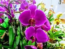 Оглушать голубые заводы орхидей сирени стоковое фото rf