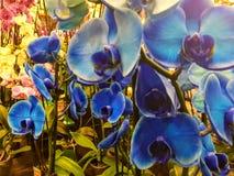 Оглушать голубые орхидеи, который нужно просиять вверх по вашему дому, орхидеям сногсшибательных фаланстеров голубым, который нуж стоковое изображение