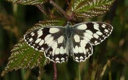 Оглушать заново вытекл мраморизованное белое galathea Melanargia бабочки отдыхая на лист ежевичника стоковые фотографии rf