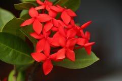 Оглушать красные цветки гортензии стоковая фотография rf